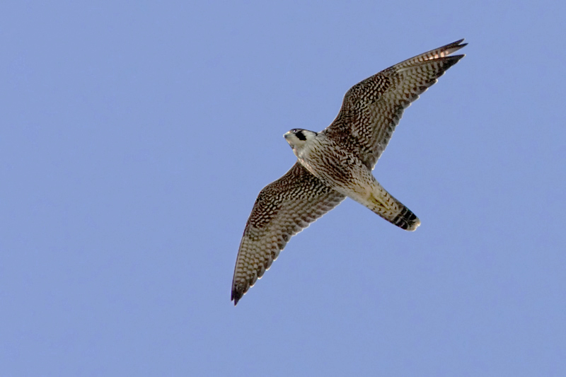 Peregrine falcon, Echandens, Switzerland, August 2008