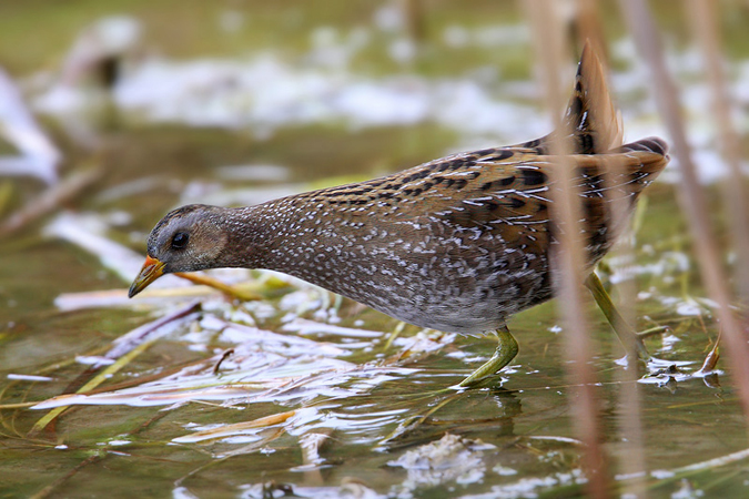 Spotted crake, Champ-Pittet, Switzerland, October 2008