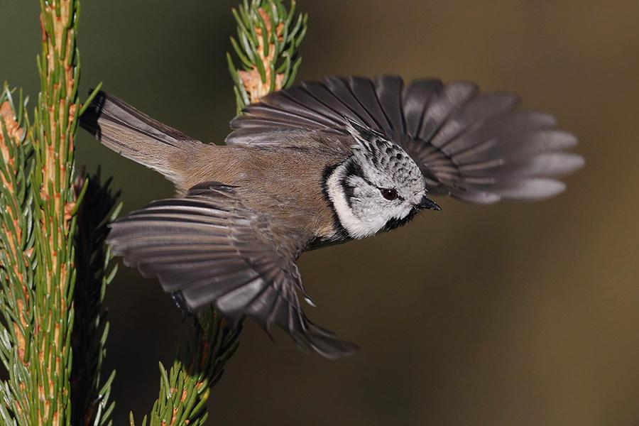 Crested tit (lophophanes cristatus), Ayer, Switzerland, October 2010