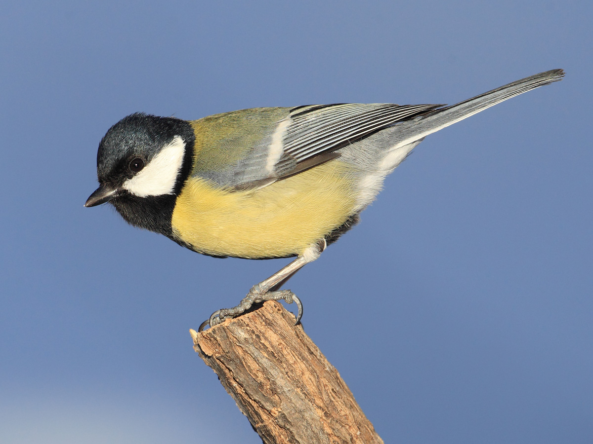 Great tit (parus major), Ayer, Switzerland, November 2012