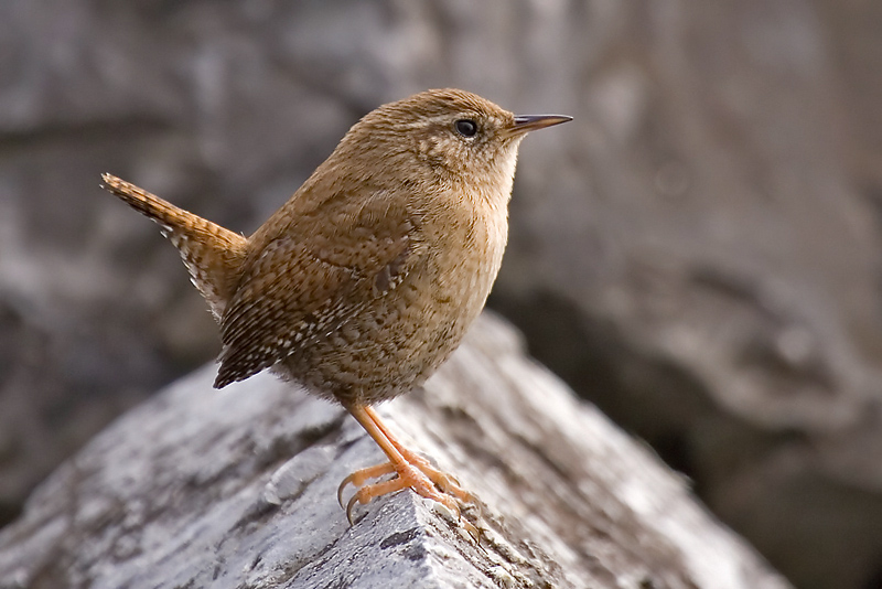 Wren, Préverenges, Switzerland, January 2006