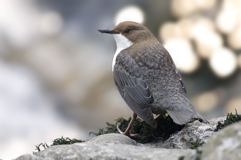 Dipper, Aubonne, Switzerland, February 2008