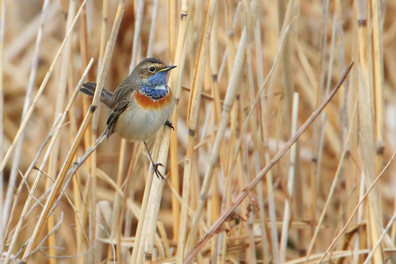 White-spotted Bluethroat, Champ-Pittet, Switzerland, March 2008