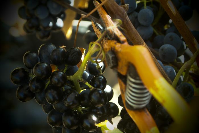 grape picking...