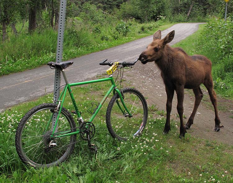 Moose sniffs my Ritchey