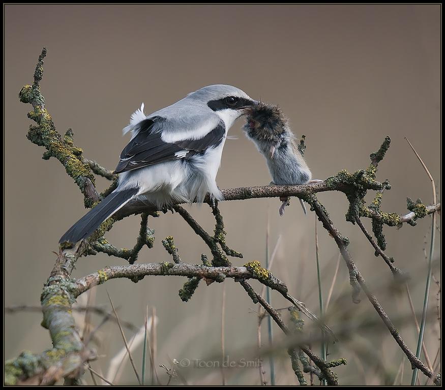 Lanius excubitor Great Grey Shrike Raubwürger Pie-grièche grise ...
