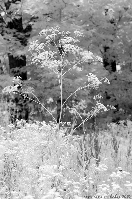 Weeds in Infrared