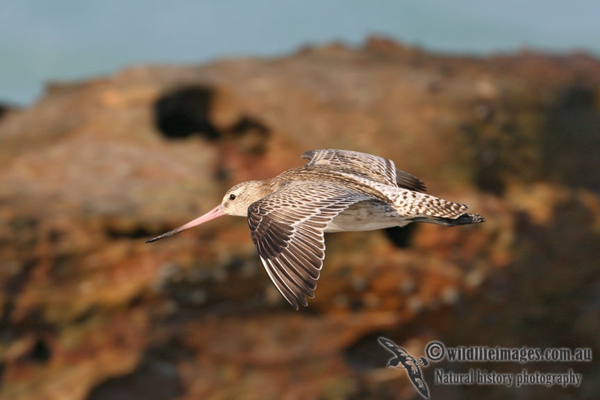 Bar-tailed Godwit 1528.jpg