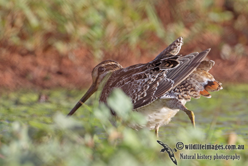 Pin-tailed Snipe a1675.jpg