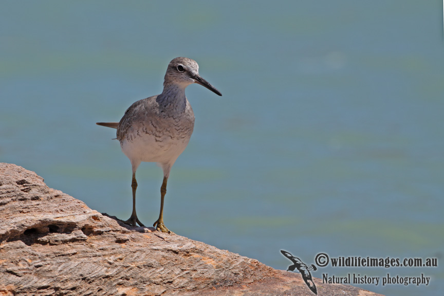 Grey-tailed Tattler a5279.jpg