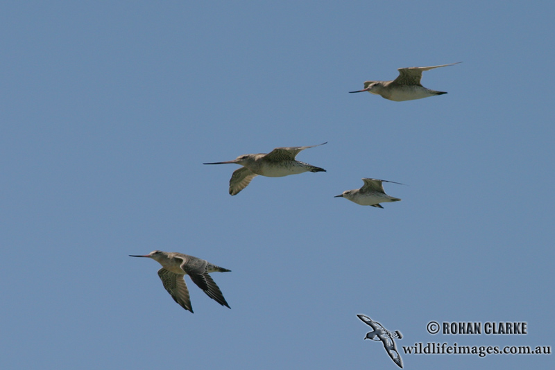 Bar-tailed Godwit 1100.jpg