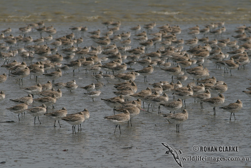 Bar-tailed Godwit 1104.jpg