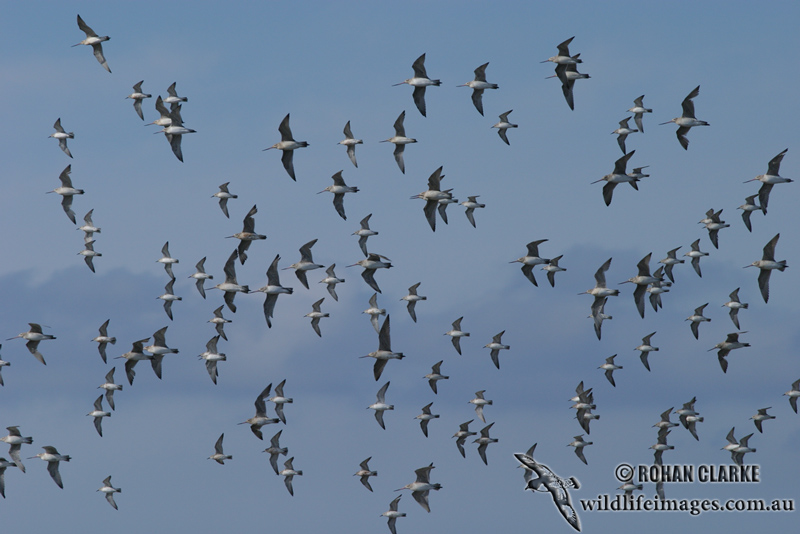 Bar-tailed Godwit 1437.jpg