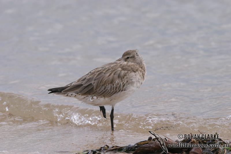 Bar-tailed Godwit 2450.jpg