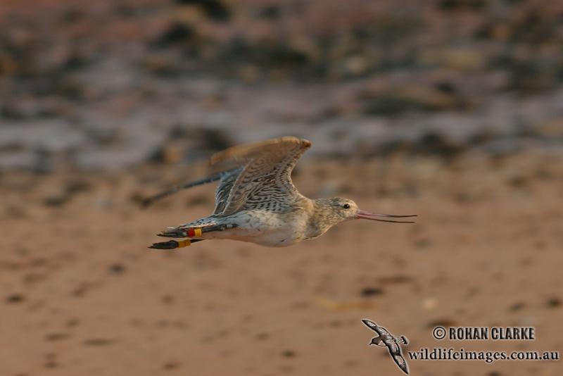 Bar-tailed Godwit 8976.jpg
