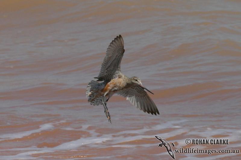 Bar-tailed Godwit 9299.jpg