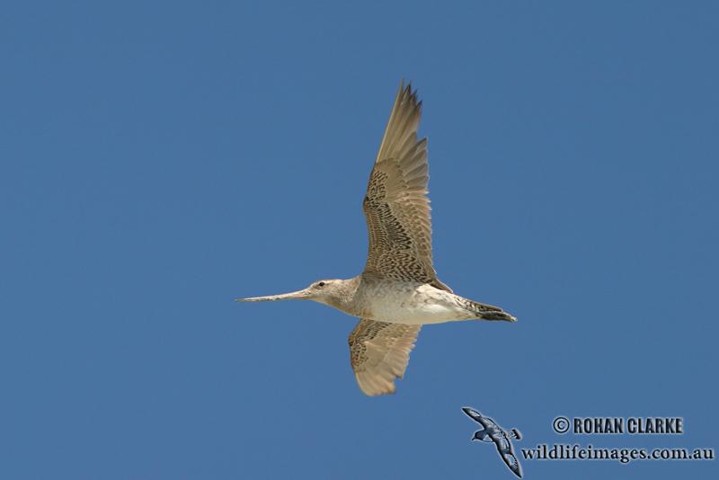 Bar-tailed Godwit 9591.jpg