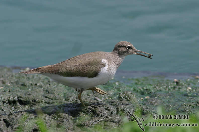 Common Sandpiper 4181.jpg
