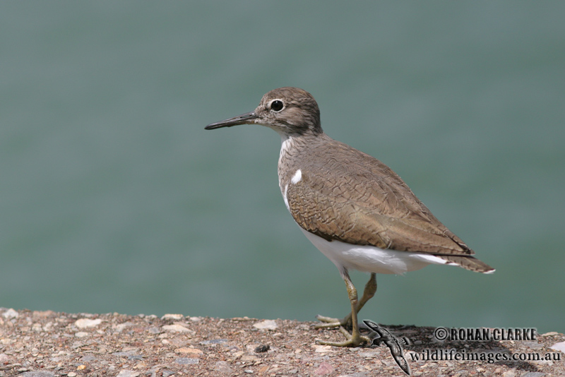 Common Sandpiper 4197.jpg
