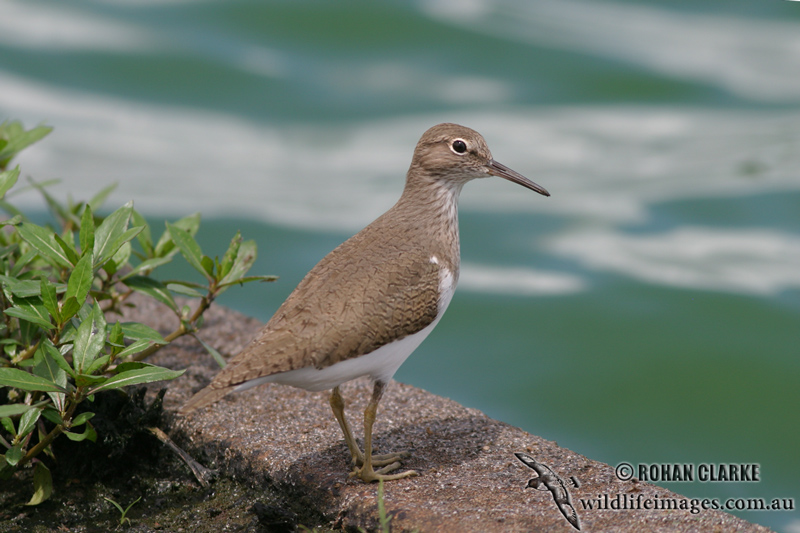 Common Sandpiper 4199.jpg