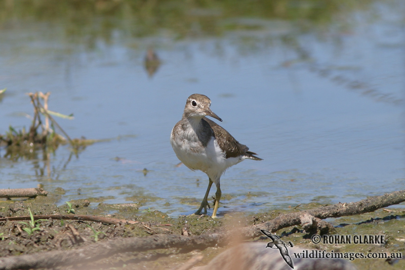 Common Sandpiper 8726.jpg