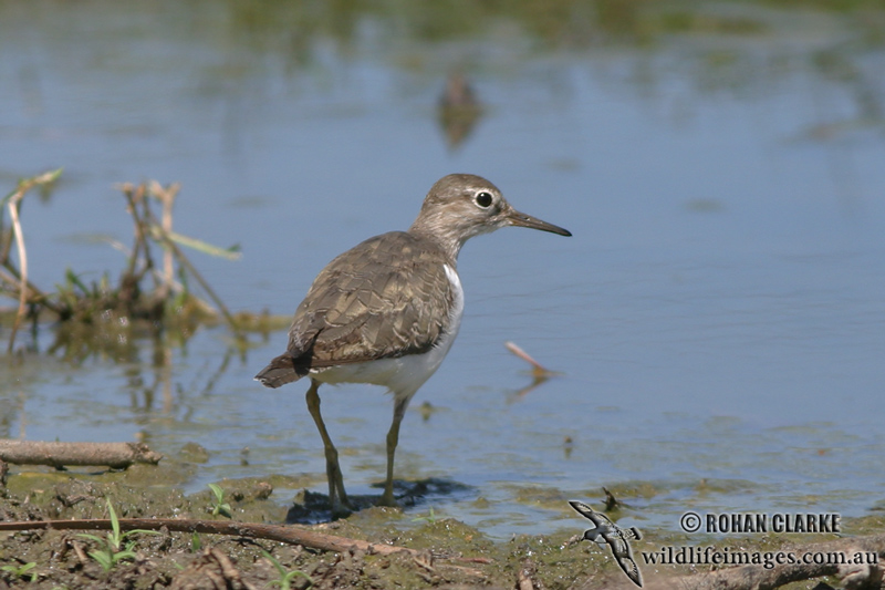 Common Sandpiper 8729.jpg