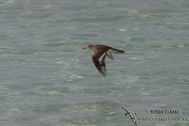 Common Sandpiper 9135.jpg