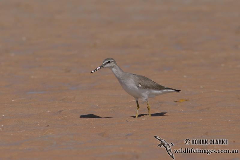 Grey-tailed Tattler 8892.jpg
