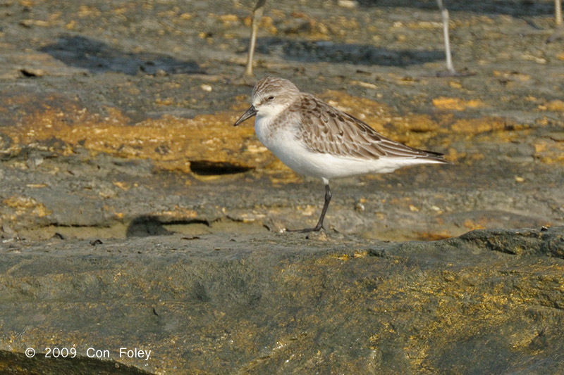 Stint, Red-necked @ Nightcliff