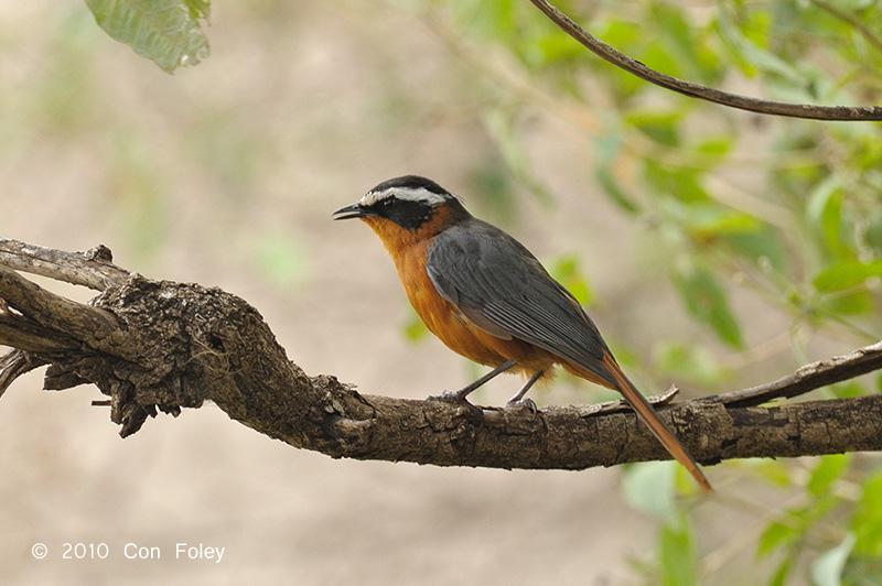 Robin-chat, White-browed @ Mara Serena Safari Lodge