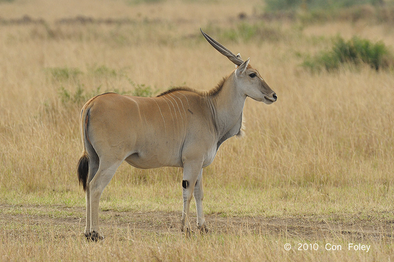 Eland, Common (female)