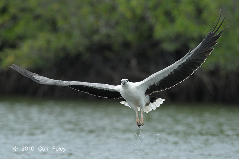 Eagle, White-bellied Sea @ Langkawi