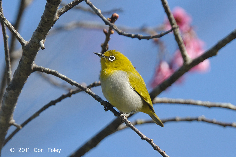 White-eye, Oriental @ Doi Chiang Dao