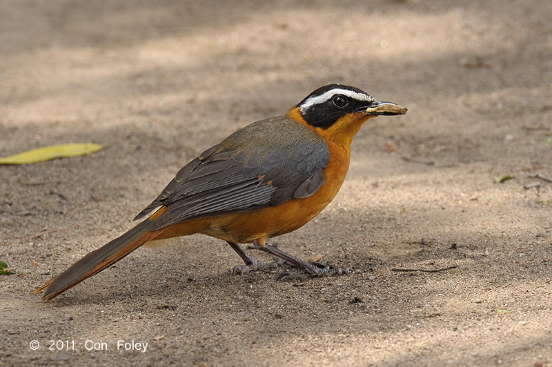 Robin-chat, White-browed @ Fig Tree