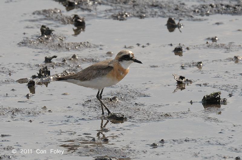 Plover, Lesser Sand