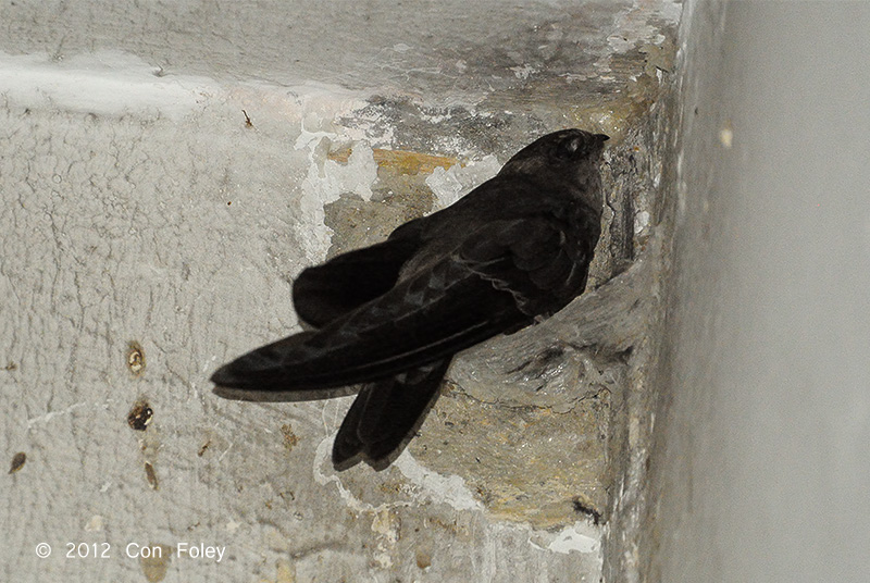 Swiftlet, Edible-Nest (adult)