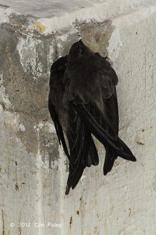 Swiftlet, Edible-Nest (adults)