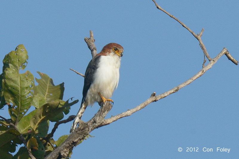 Pygmy-Falcon, White-rumped (female) @ Tmatboey