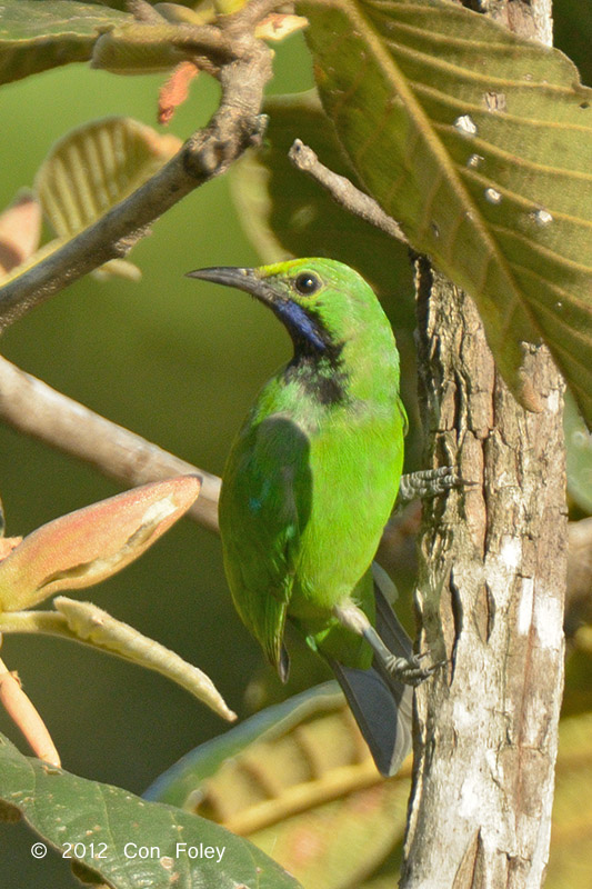 Leafbird, Golden-fronted @ Tamtboey