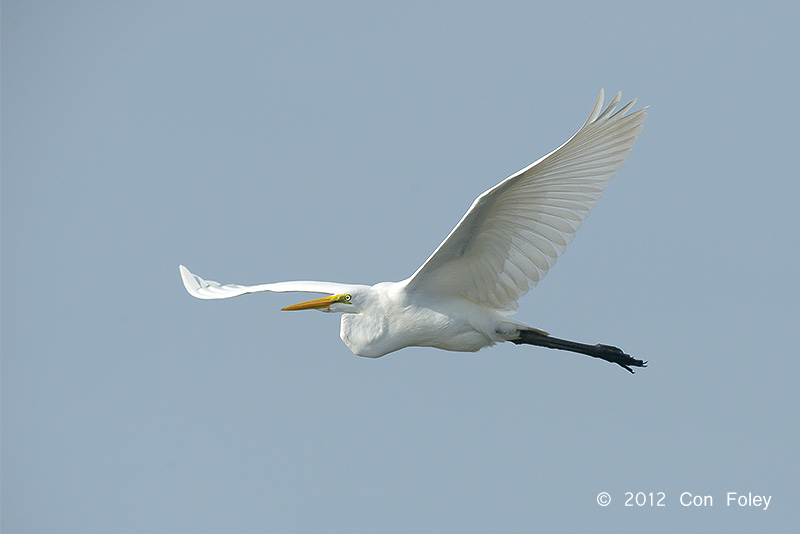 Egret, Great @ Tonle Sap