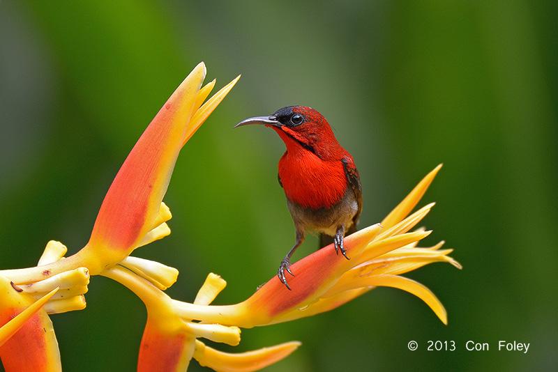 Sunbird, Crimson (male) @ Botanic Gardens