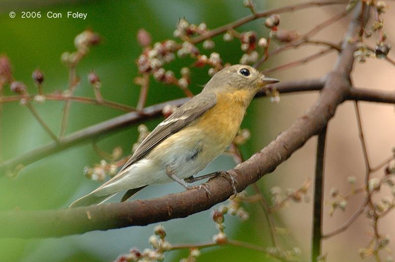 Flycatcher, Mugimaki (female) @ Upper Pierce