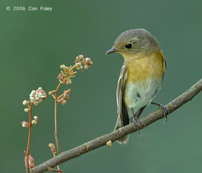 Flycatcher, Mugimaki (female)