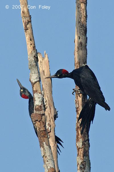Woodpecker, White-bellied (female)