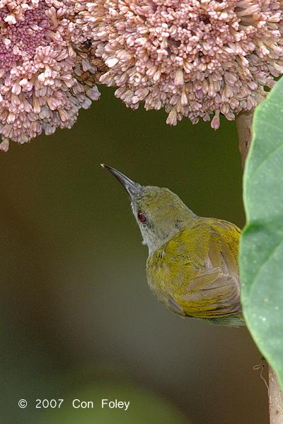 Sunbird, Plain (female) @ Danum Valley
