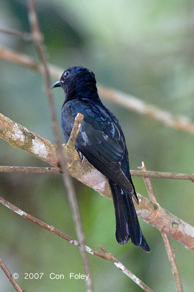 Cuckoo, Asian Drongo (adult)