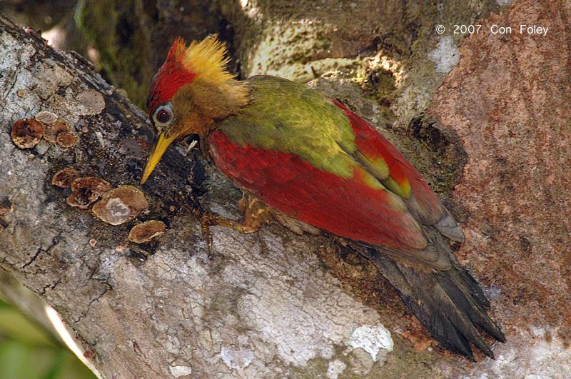 Woodpecker, Crimson-winged (female)