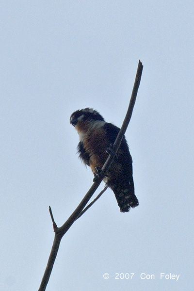 Falconet, Black-thighed @ The Old Road