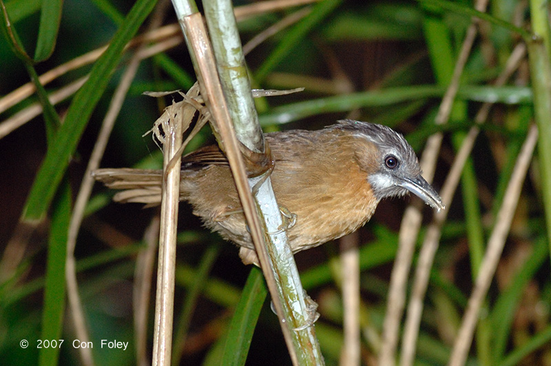 Babbler, Grey-throated @ Jelai Resort