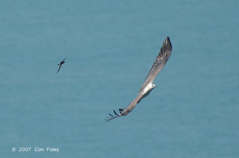 Eagle, White-bellied Fish & Swift @ Tanjong Tuan